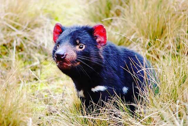 A local visitor... the famous Tasmanian Devil!