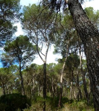 Mediterranean Pine forest, photo J. Cook