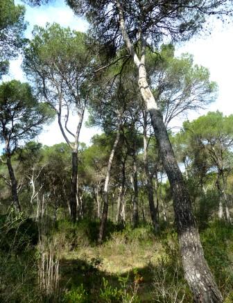 Sunlit Spaces - Mediterranean Pine Forest, photo J. Cook