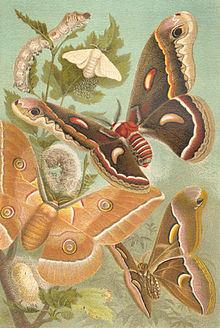 Four of most important domesticated moths - top to botton, Bombyx mon, Hyalophora cecropia, Antheraea pernyi, Samia cynthia, From Meyers Konversations-Lexikon (1885-1892). (Image courtesy of Bibliograpisches Institut, Leipzig)