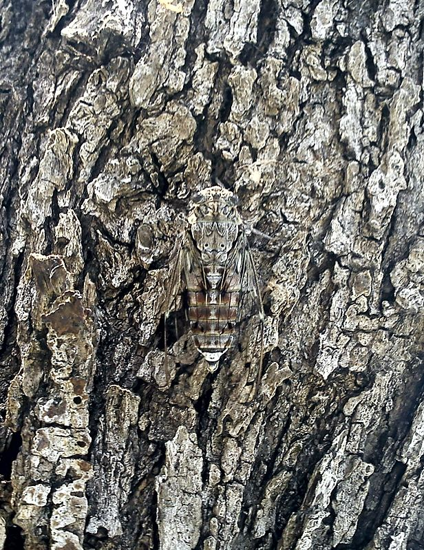 Cicada camouflaged on an olive tree, Kassiopi, Corfu, Greece.