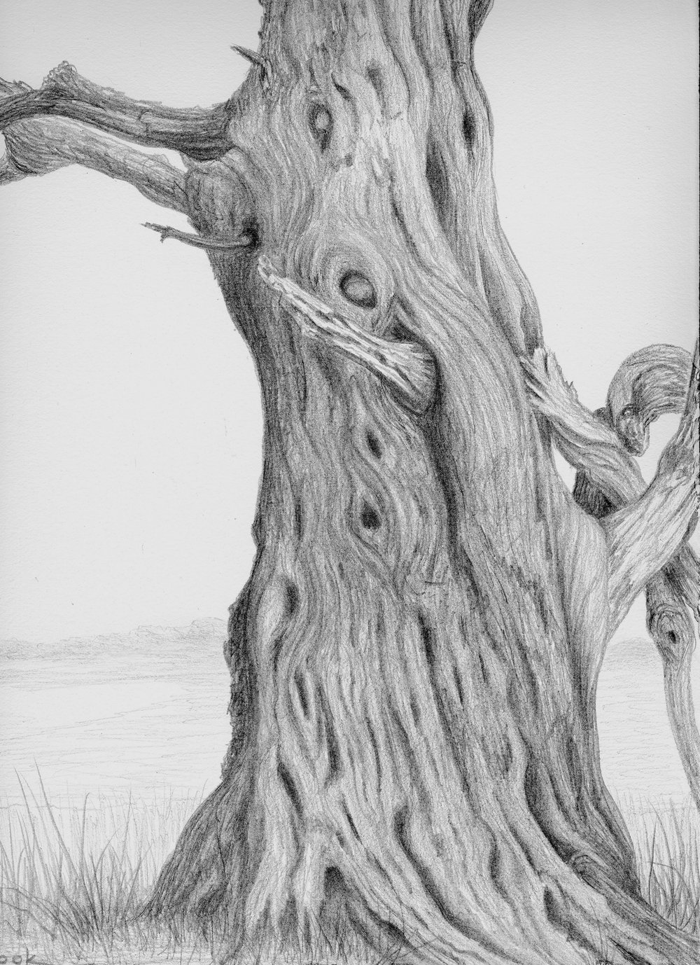 Creighton Cedar, silverpoint, Jeannine Cook artist