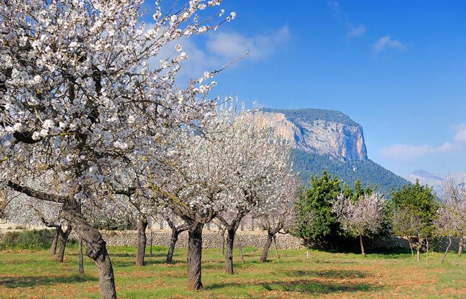 Almond Blossom, Mallorca