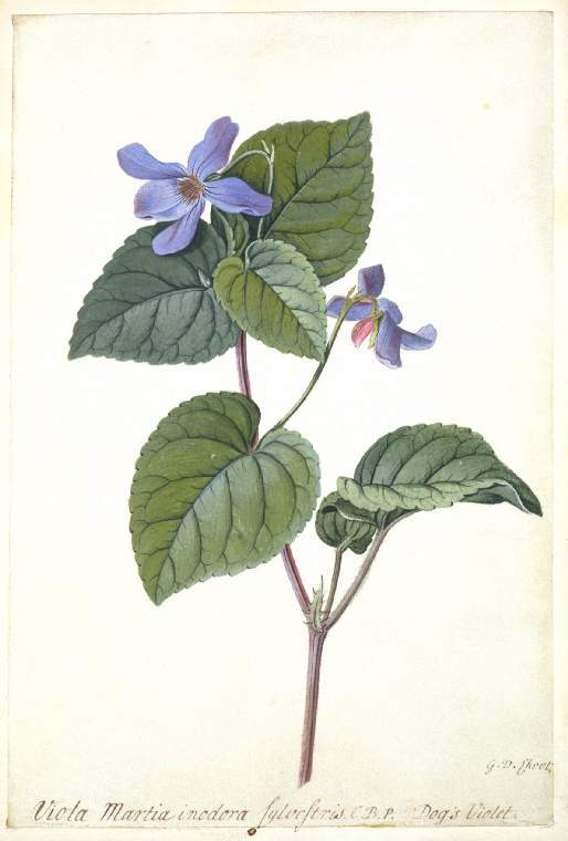Viola, graphite and bodycolour on vellum, Georg Dionysius Ehret, 1708-1770, (Image courtesy of the Fitzwilliam Museum, Cambridge)