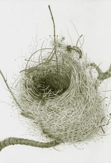 Warbler Weaving, Palma - silverpoint, Jeannine Cook artist.