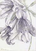 "Azalea indica,  metalpoint 10 x 7"" image, Jeannine Cook"