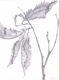 "Balsam Mountain Beech,   silverpoint, 15 x 11"" image, Jeannine Cook"