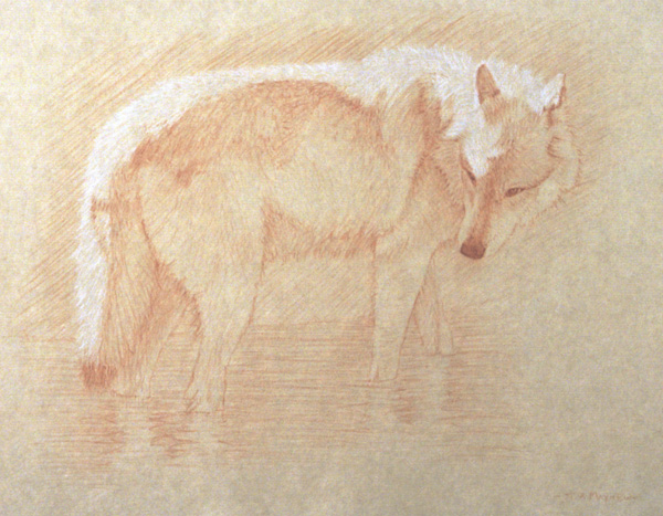 Timothy David Mayhew, Right side study of a gray wolf wading in water, natural red chalk and natural white chalk, (Image courtesy of the artist)