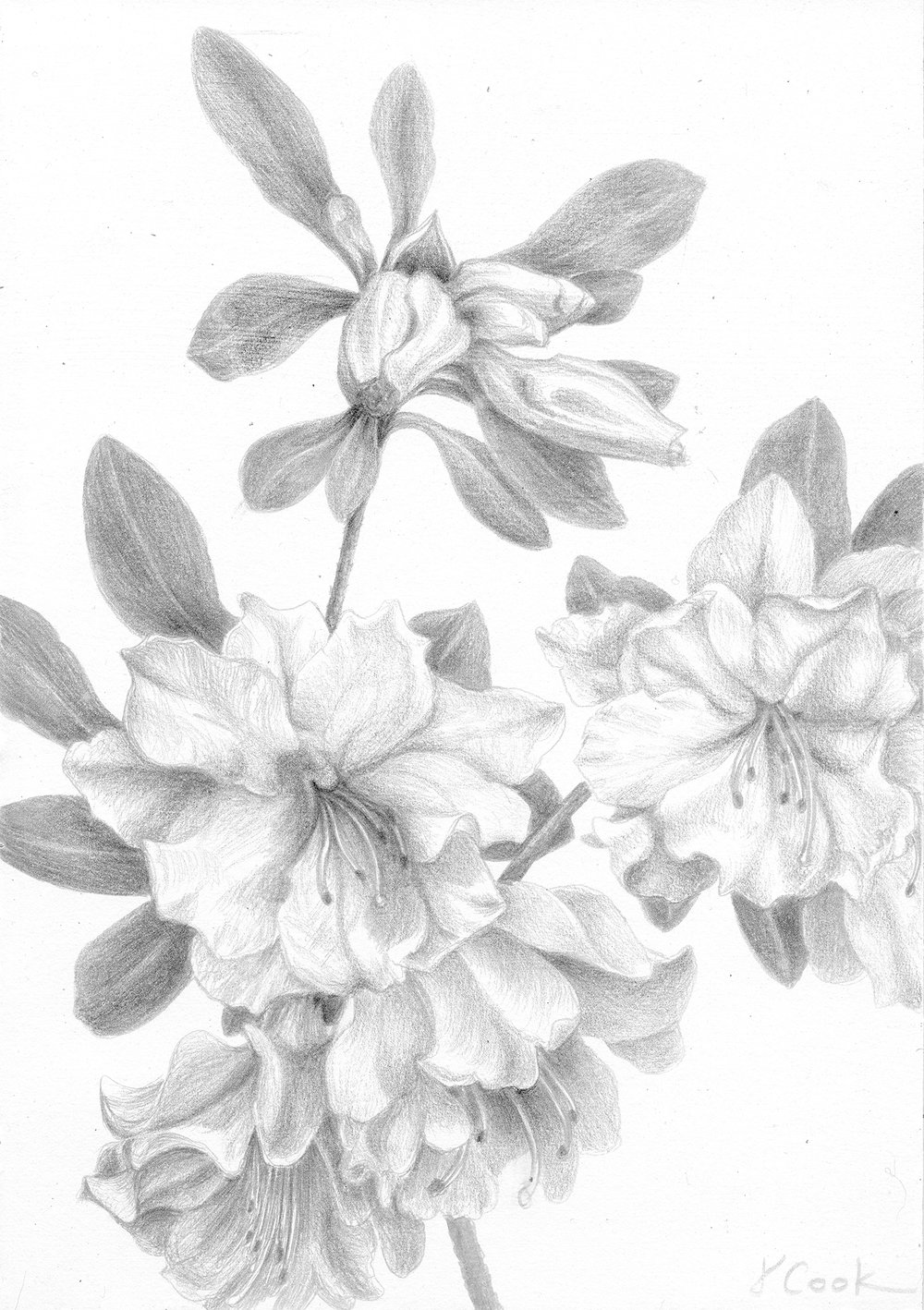 Azaleas in March, silverpoint, Jeannine Cook artist, Private collection