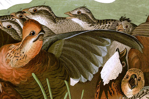 Detail from Plate 76 of John James Audubon's Birds of America. Virginian Partridge (Northern Bobwhite) under attack by a young red-shouldered hawk. Restored by RestoredPrints.com 2008.