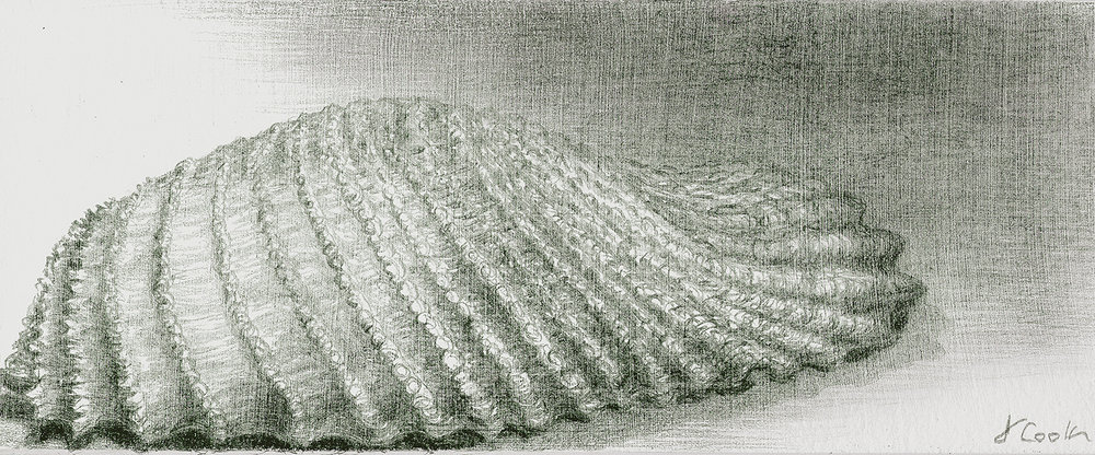 Angel Wing shell, silverpoint, Jeannine Cook artist