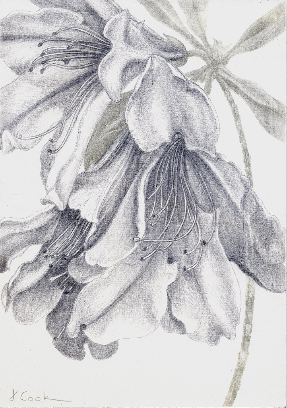 Azalea  indica , silver-copperpoint, Jeannine Cook artist