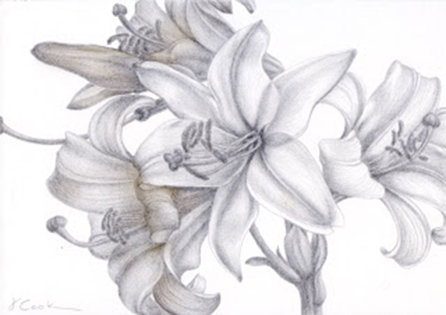 Lilium candidium - so sweetly perfumed, silverpoint, Jeannine Cook aertist