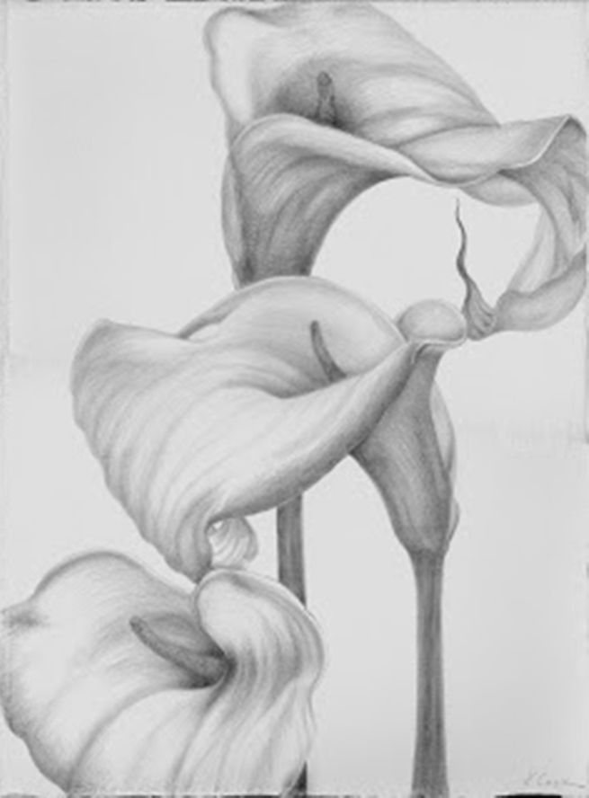 Calla Lilies, Palma. silverpoint, Jeannine Cook artist