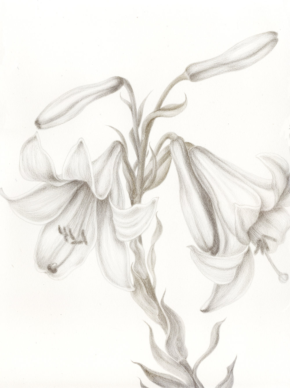 Azucena-Regale Lilies, silverpoint, Jeannine Cook artist