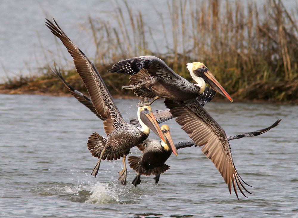 Brown Pelicans (Image courtesy of Phil Lanoue Photography)