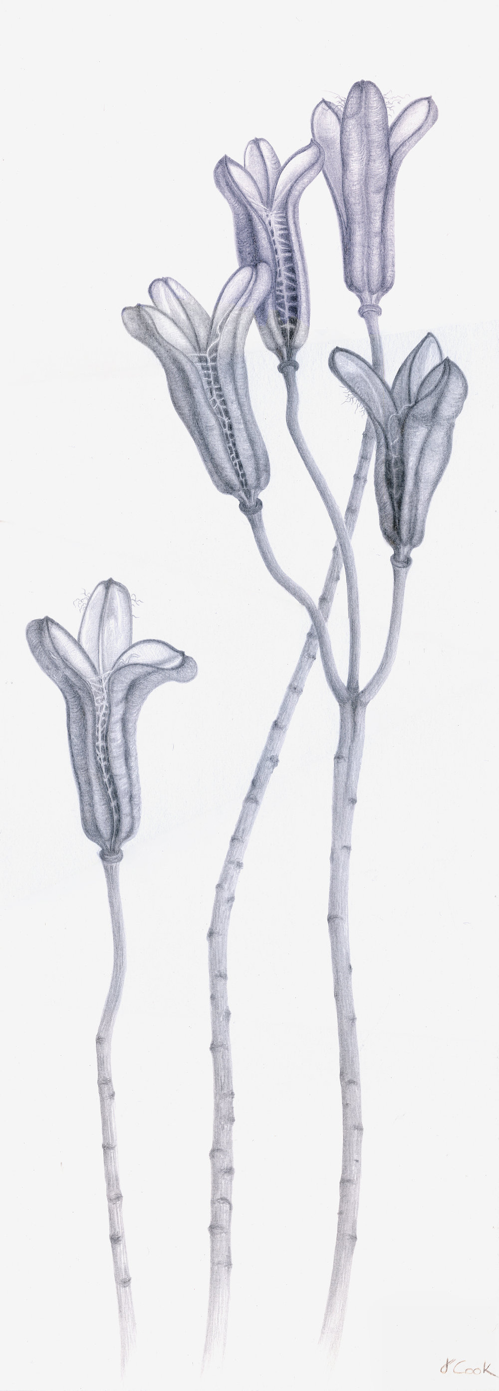 Enduring Elegance, (regale lily seed pods), silverpoint, Jeannine Cook artist