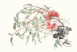 Eucalyptus youngiana, Philippa Nikulinsky (image courtesy of the artist)