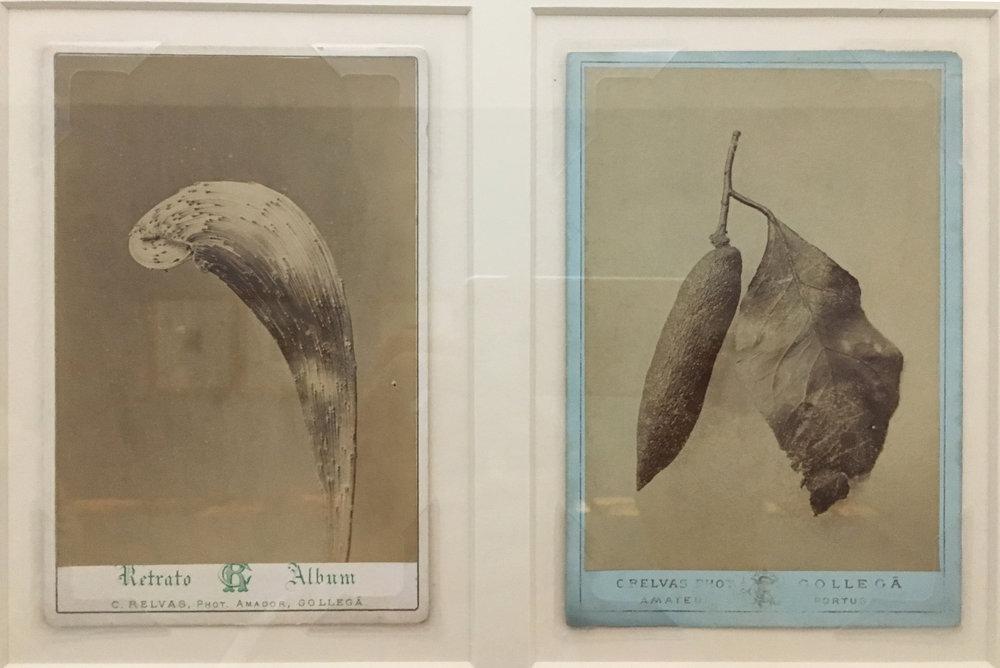 Carlos Relvas, Untitled (Leaves), 1869-1877, albumen prints - cabinet cards. Casa de Patudos, Museu de Alpiarca. (photography J. Cook)