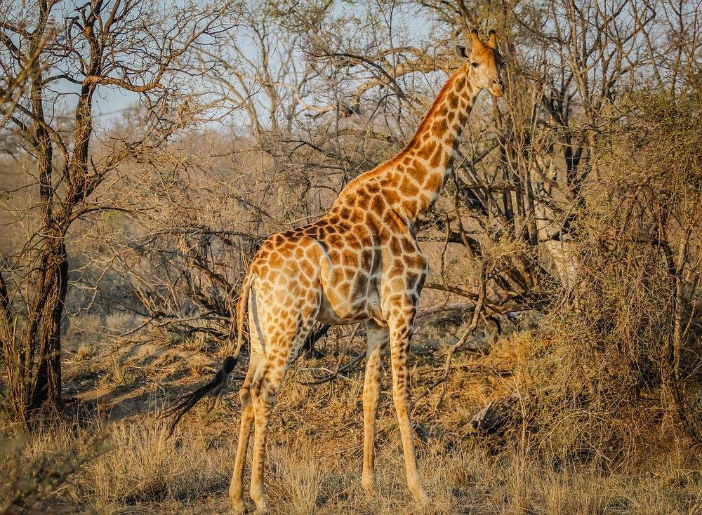 giraffe-1285209_1280.jpg