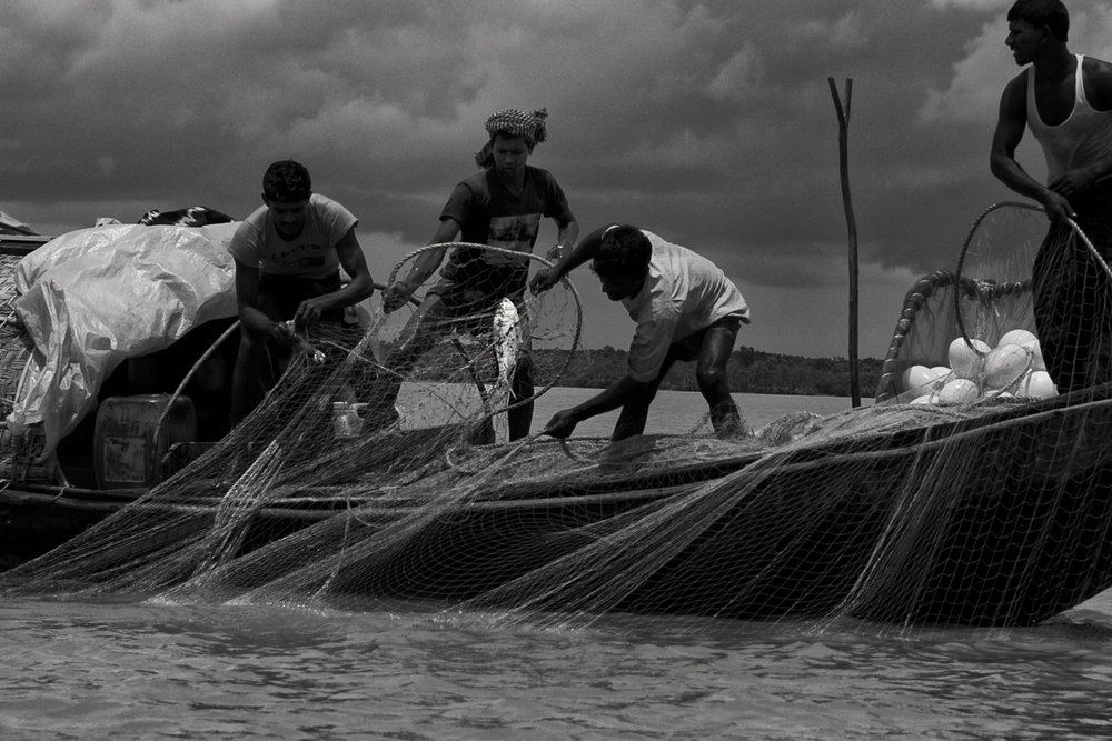 These fishers specialize in catching an Indian shad called the hilsa ( Tenualosa ilisha ), a lucrative species of high cultural and economic importance. But the numbers of the fish have been falling due to upstream dams (the fish is anadromous) and commercial over-fishing of juveniles. This boat had set its nets for seven hours and caught but a fish.