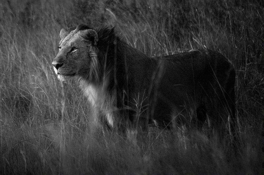 lion_mara_standing.jpg