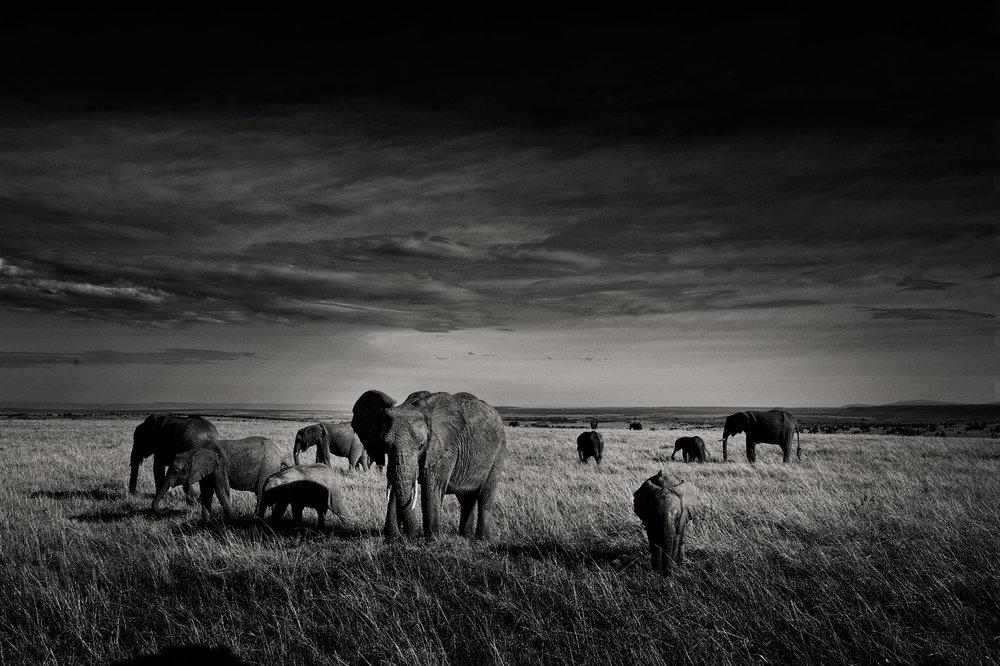 mara_elephants_tusker.jpg