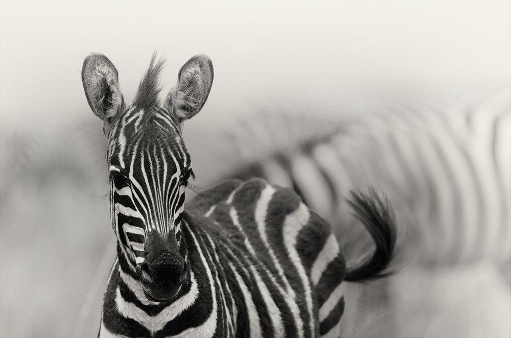 zebra_foal_1024.jpg