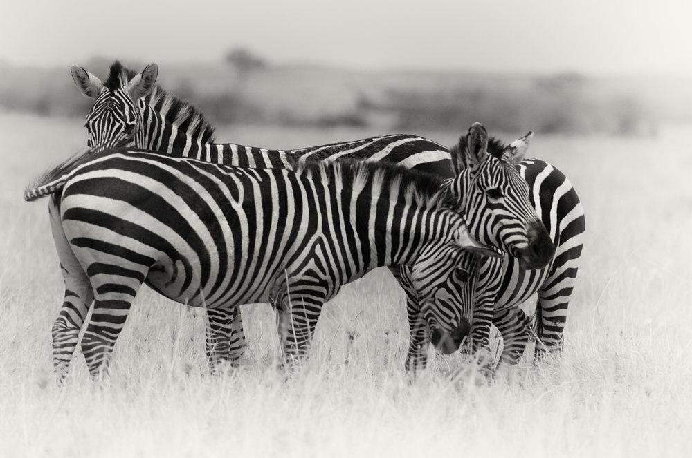 zebras_3x2.jpg