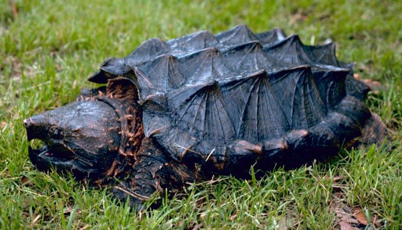 Alligator_snapping_turtle_By_Gary_M_Stolz_US_Fish_and_Wildlife_Service.jpg