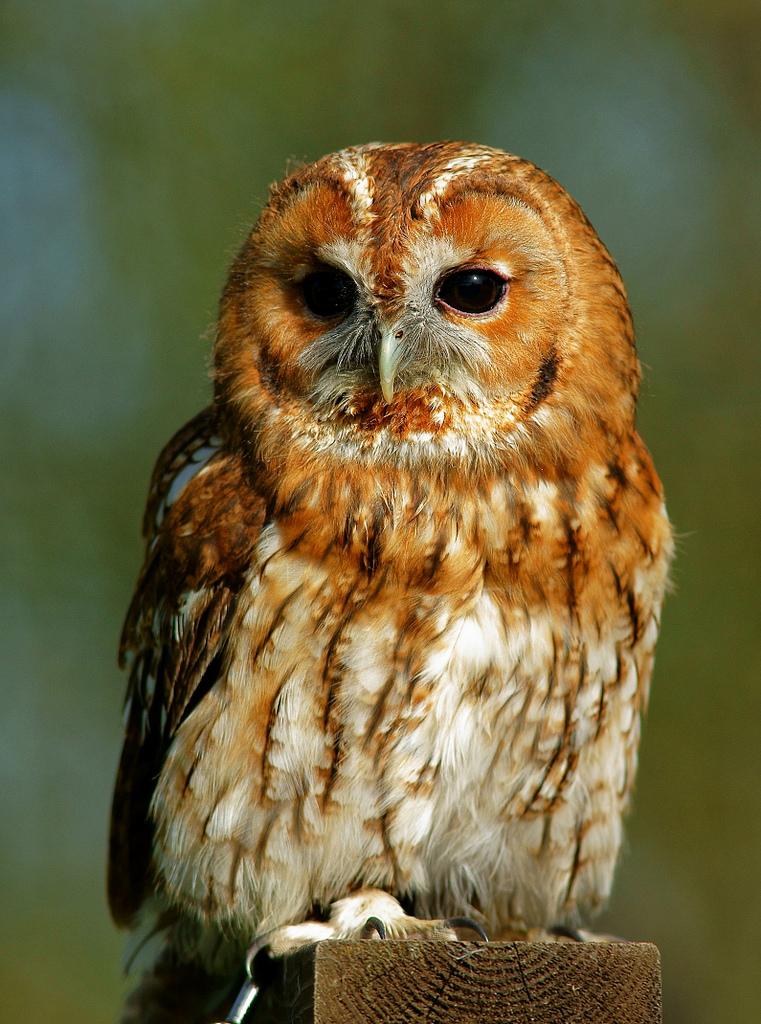 Tawny owl..jpg