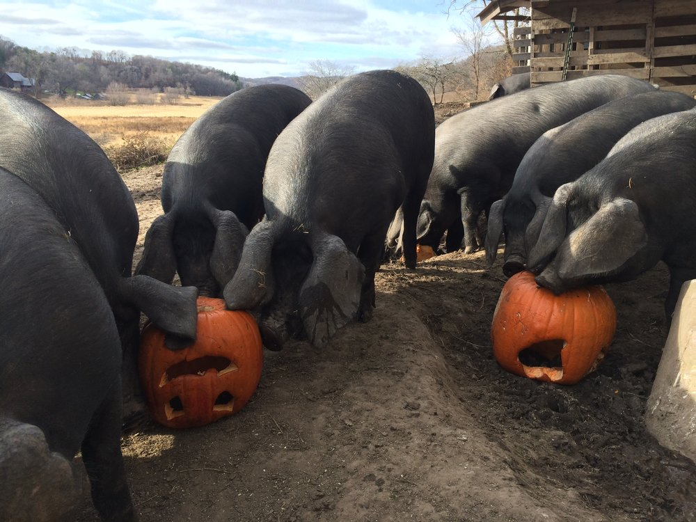 In addition to having a great pasture life, pigs at Straight Forward Farm seasonly enjoy apples, nuts, berries and even pumpkins.