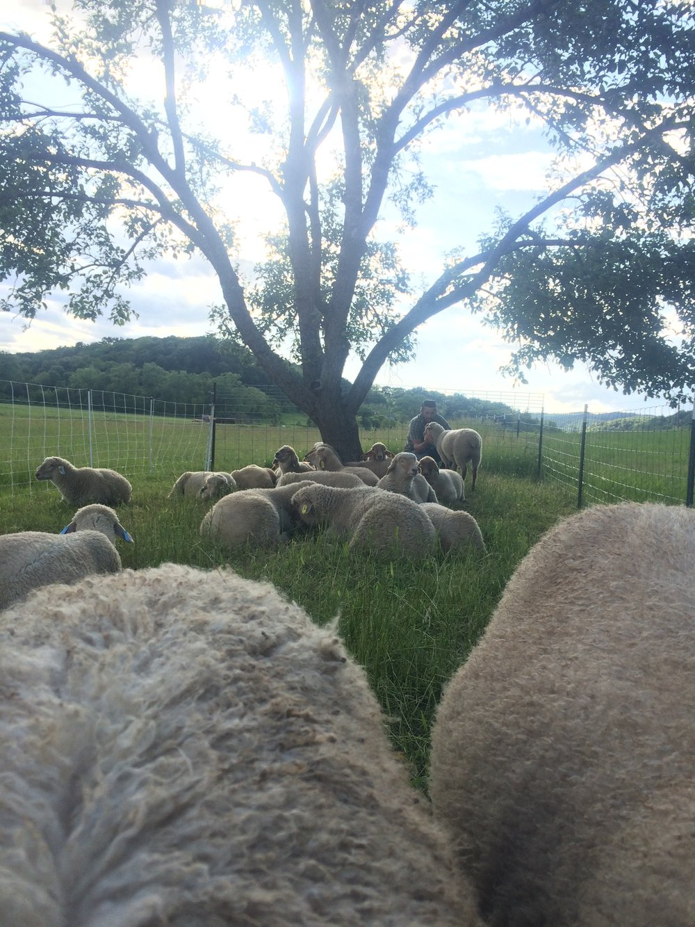 Our lambs are born and raised right here on the farm.