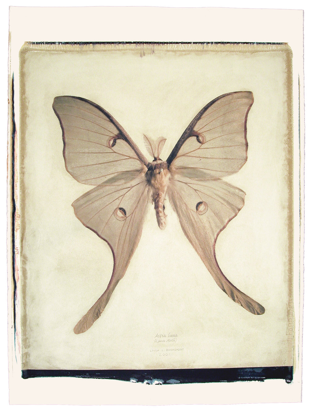 Actias luna  (Luna Moth), 2001