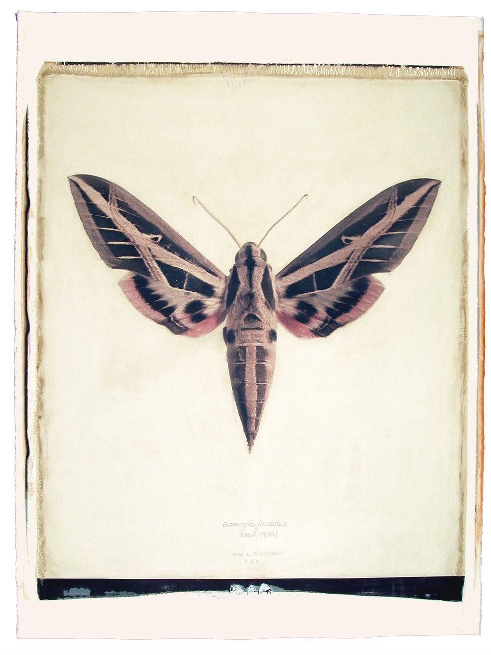Eumorpha fasciatus  (Hawk Moth), 2001