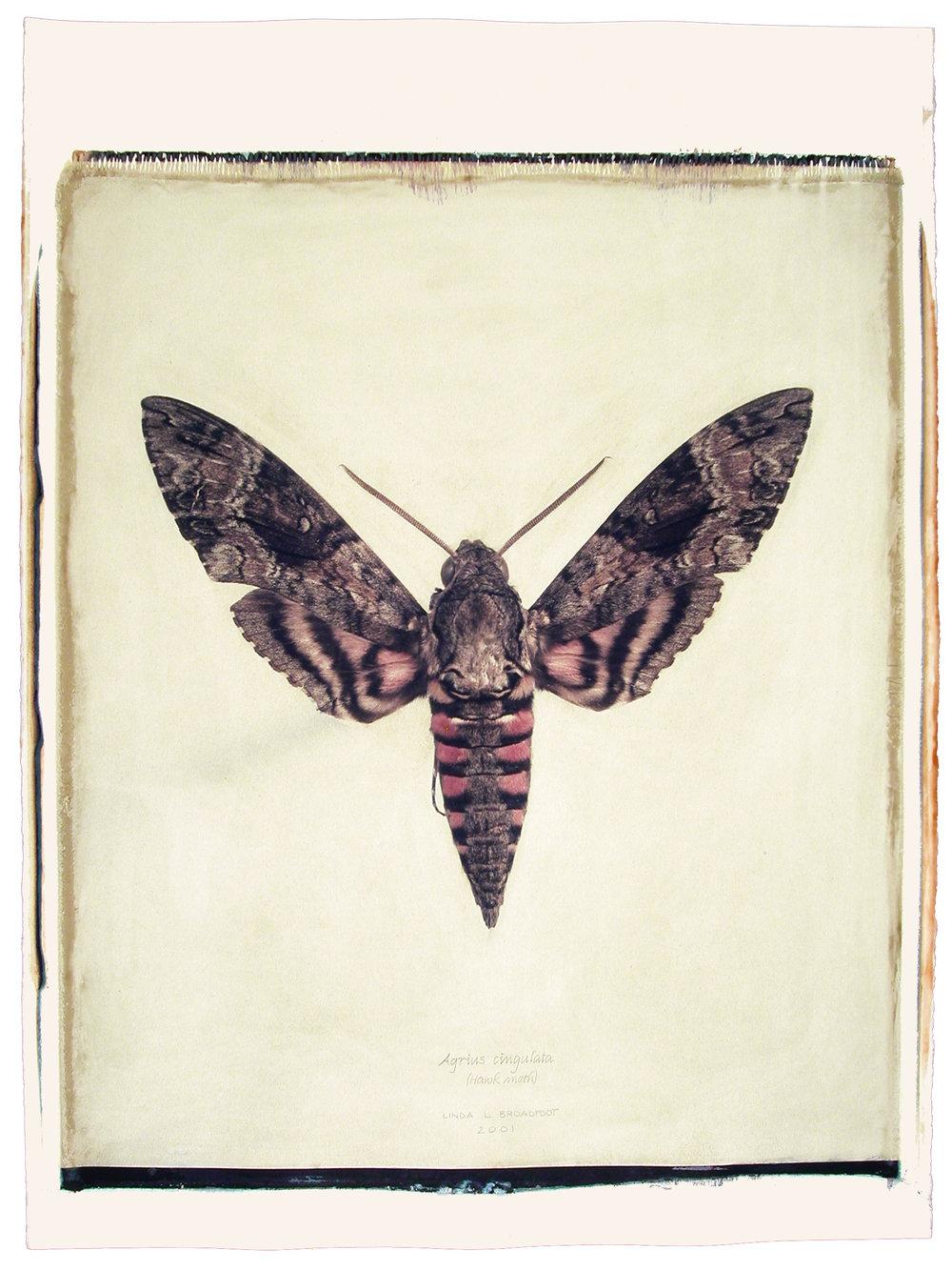 Agrius cingulata  (Hawk Moth), 2001
