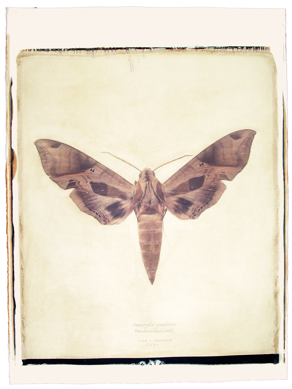 Eumorpha pandorus  (Pandorus Hawk Moth), 2001