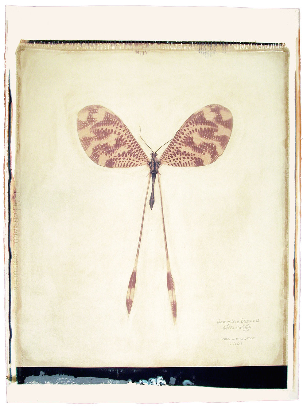 Nemoptera bipennis  (Ribbon Tail Fly), 2001