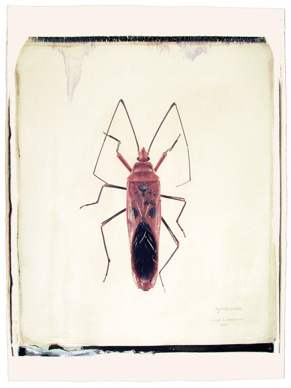 Pyrrhocoridae , 2001