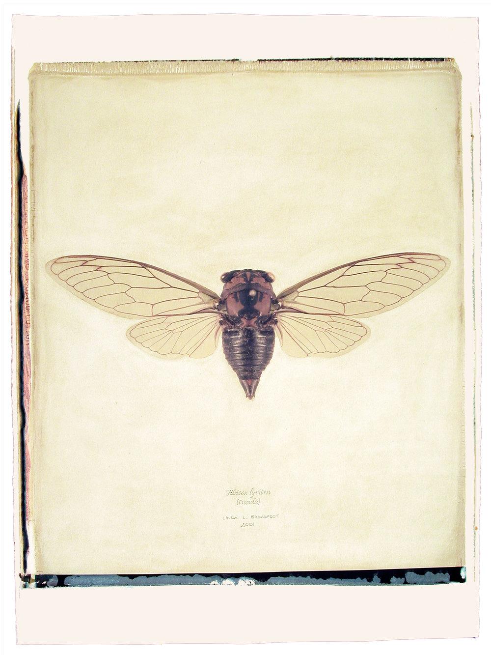 Tibicen lyricen  (Cicada), 2001