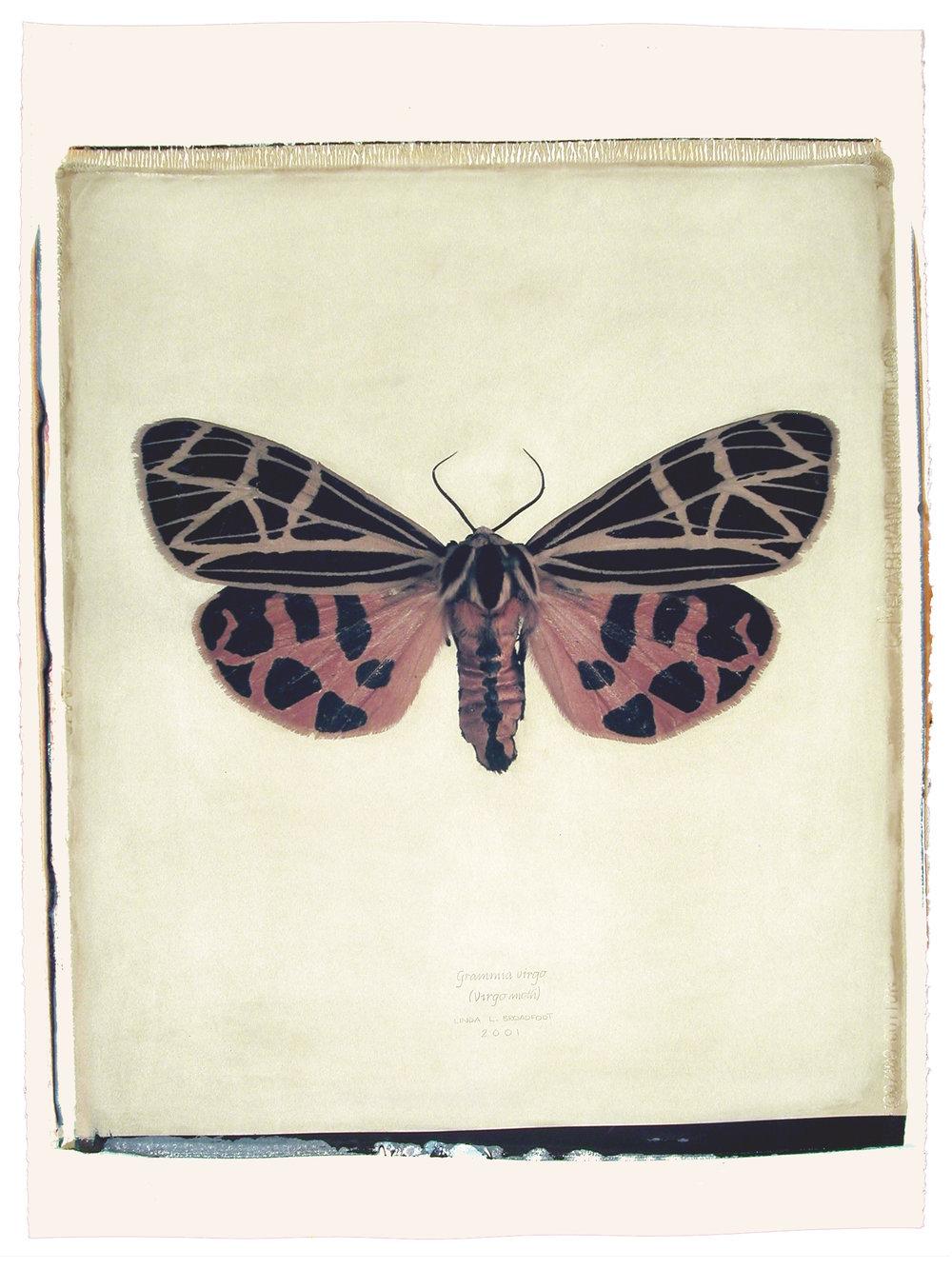 Grammia virgo  (Virgo Moth), 2001