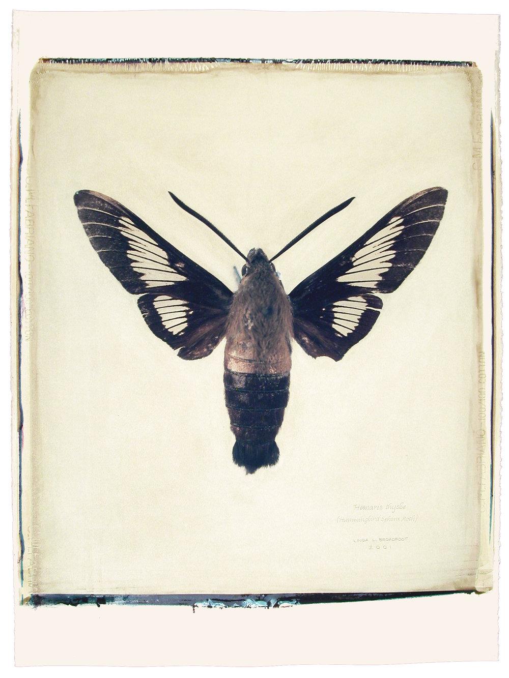 Hemaris thysbe  (Hummingbird Sphinx Moth), 2001