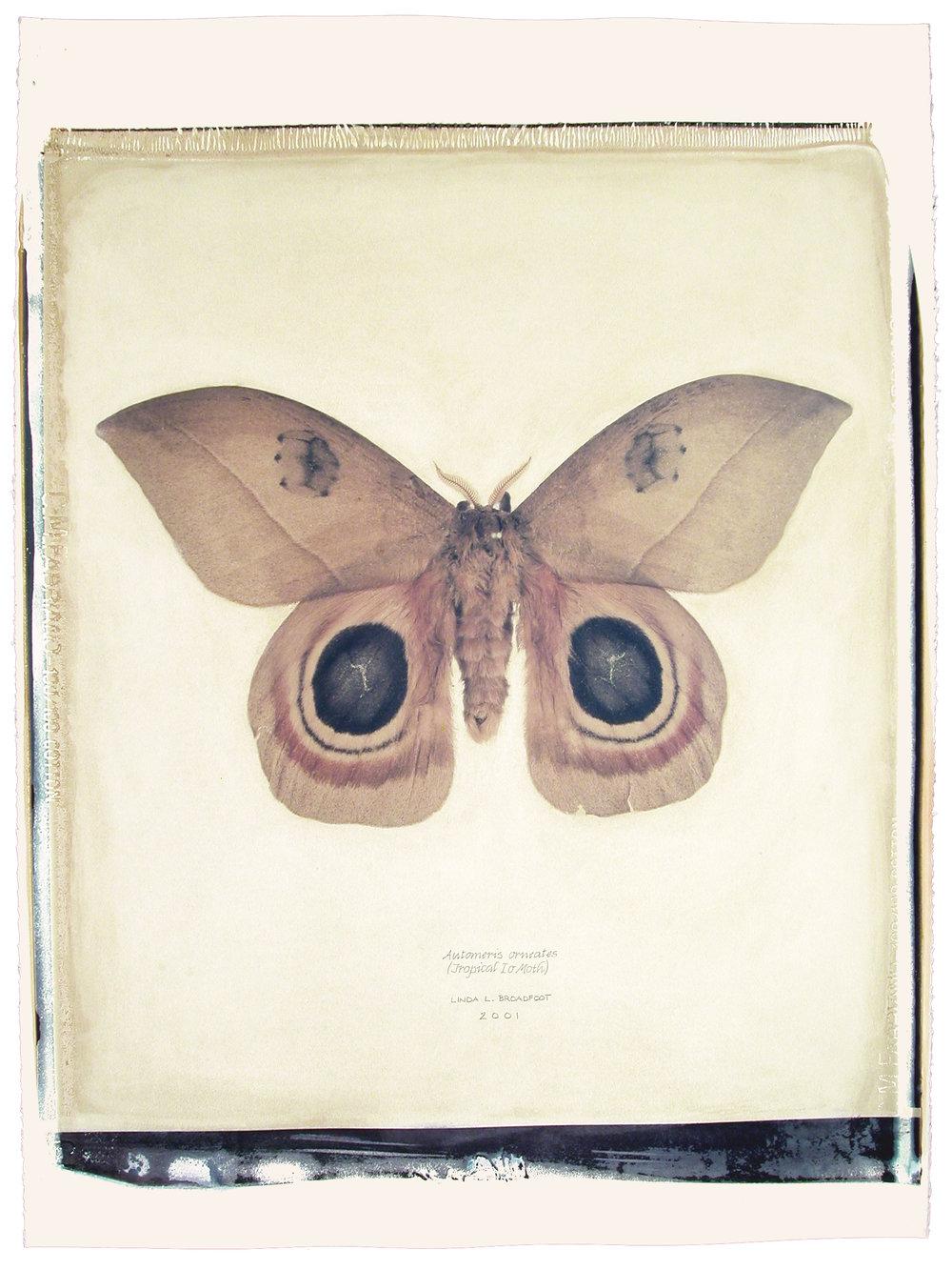 Automeris orneates  (Tropical Io Moth), 2001