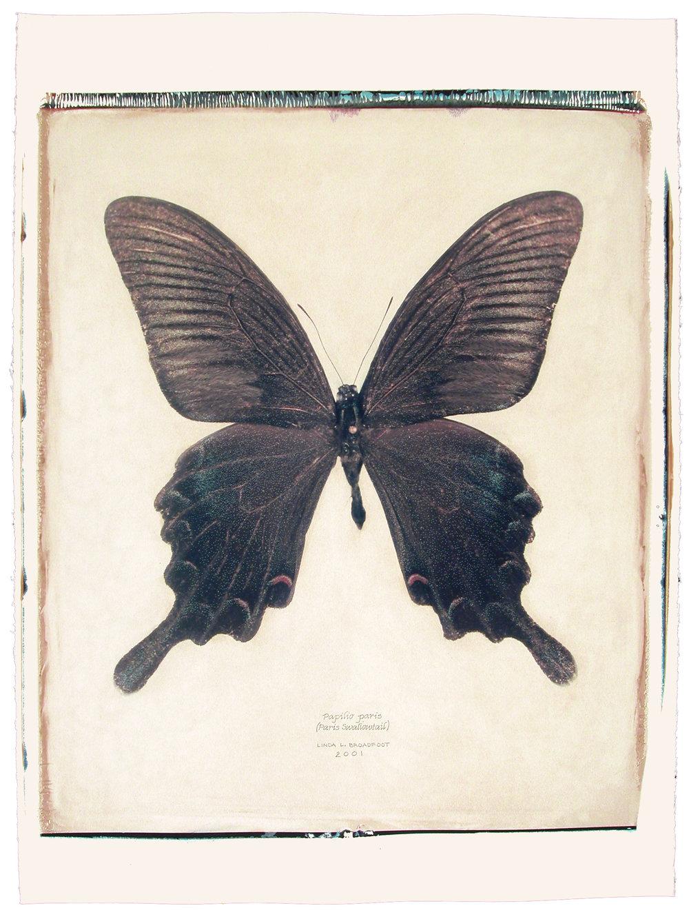 Papilio paris  (Paris Swallowtail), 2001