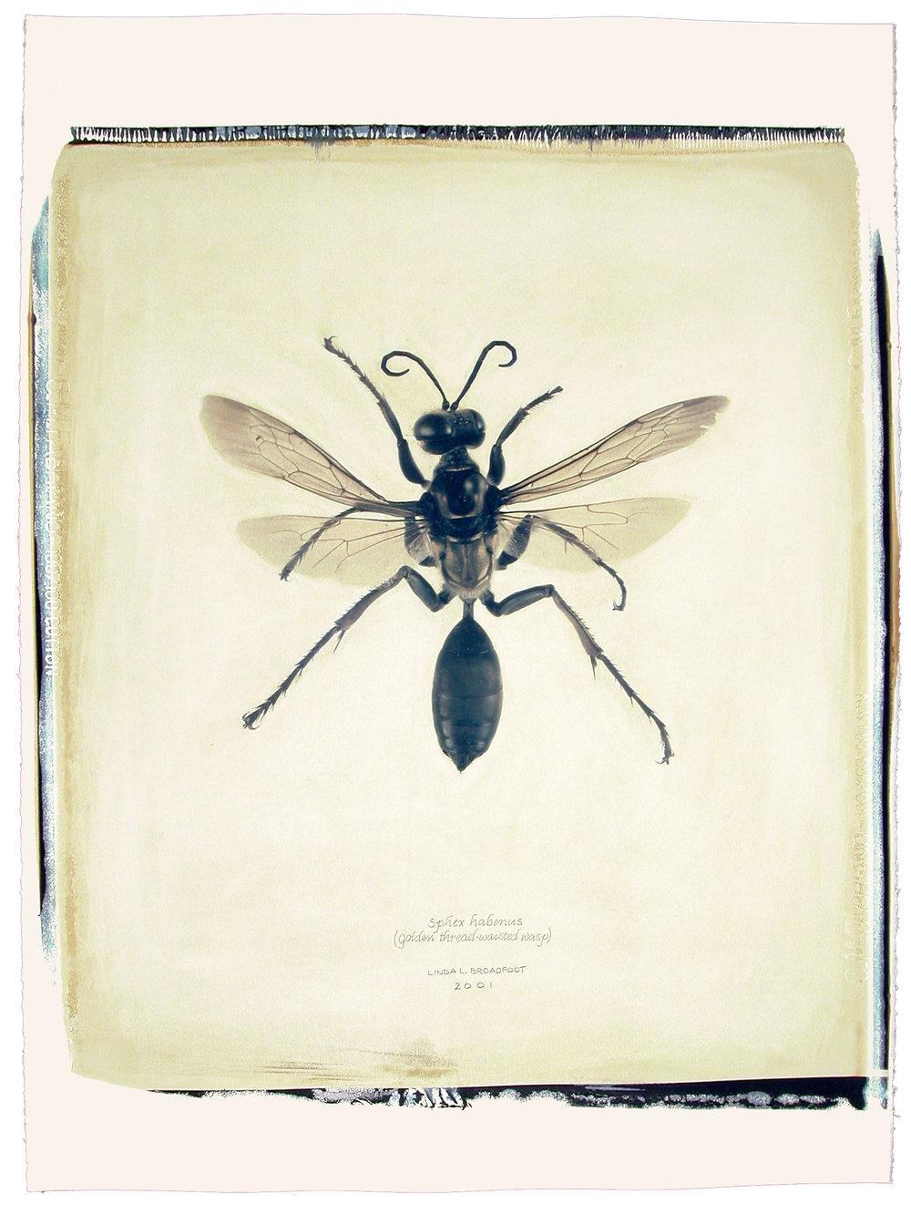 Sphex habenus  (Golden Thread-Waisted Wasp), 2001