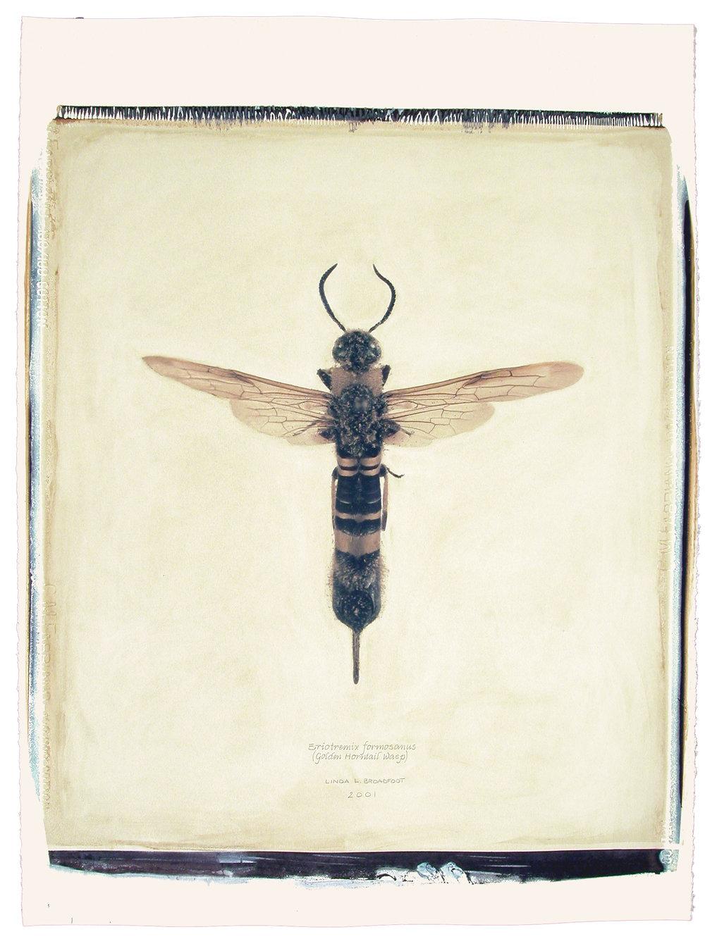Eriotremex formosanus  (Golden Horntail Wasp), 2001