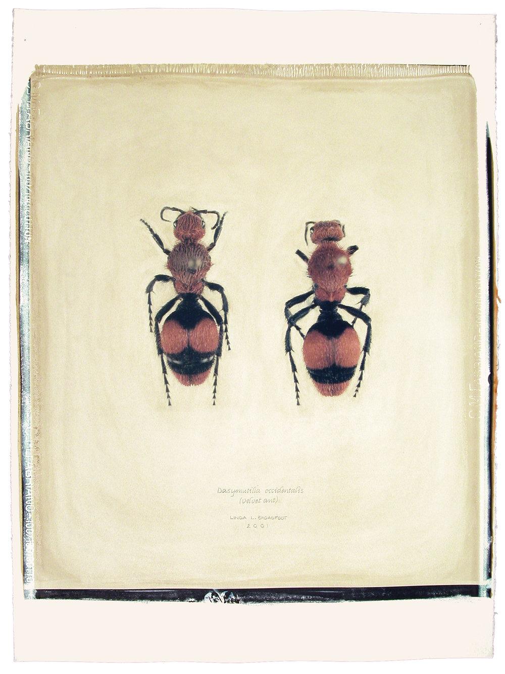 Dasymutilla occidentalis  (Velvet Ant), 2001
