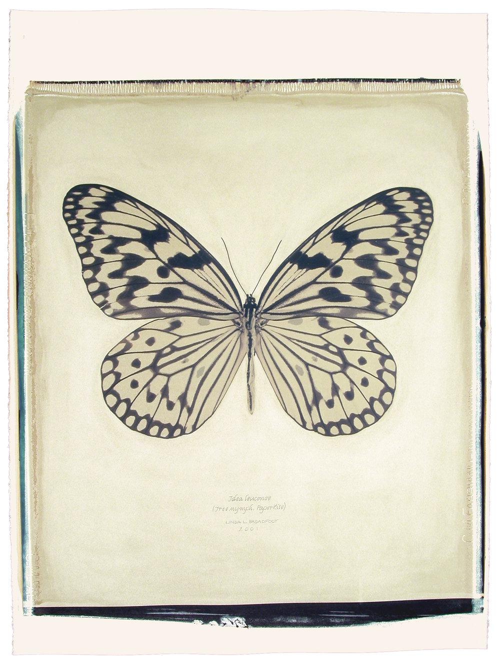 Idea leuconoe  (Tree Nymph, Paper Kite), 2001