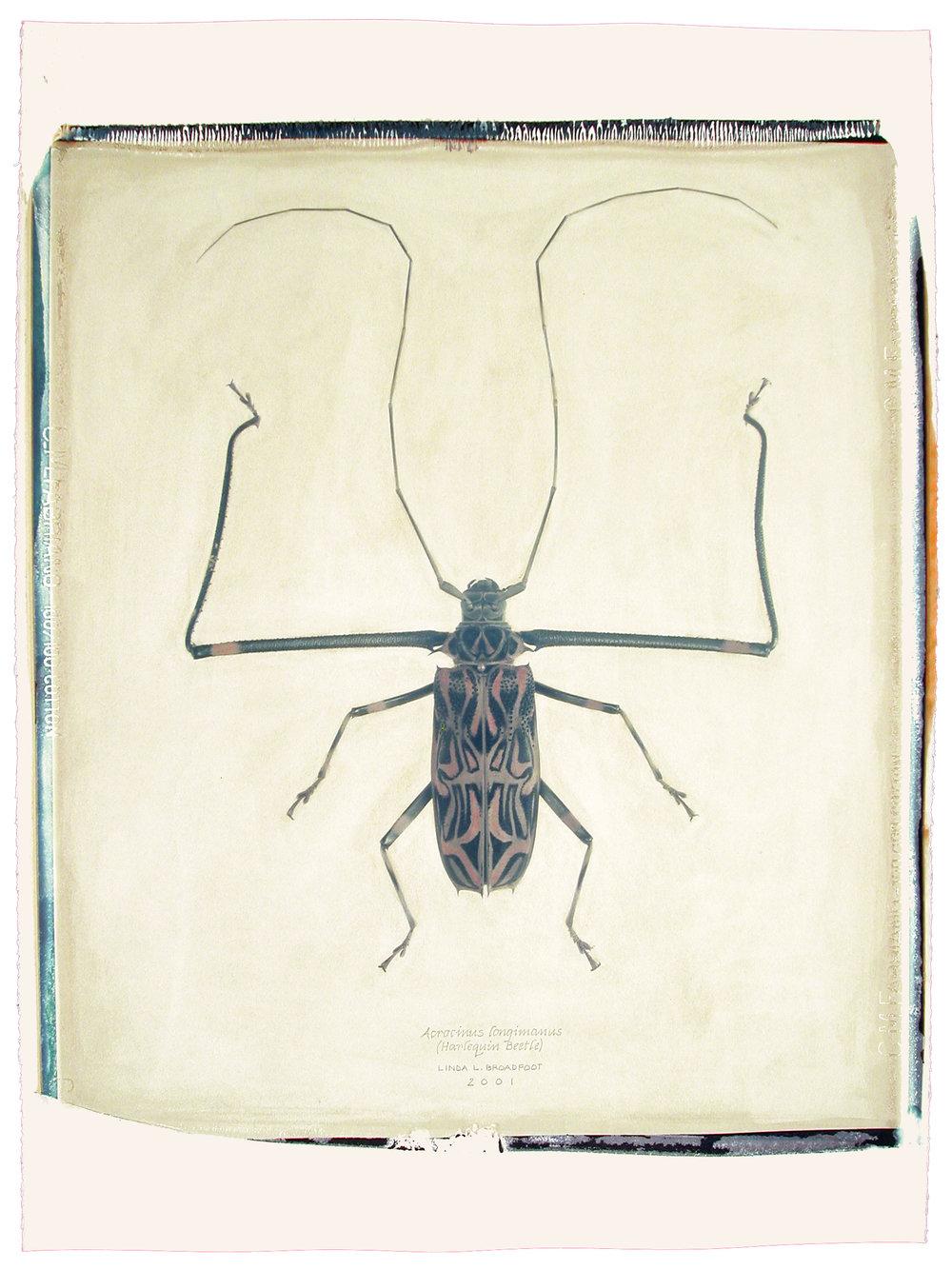 Acrocinius longimanus  (Harlequin Beetle), 2001