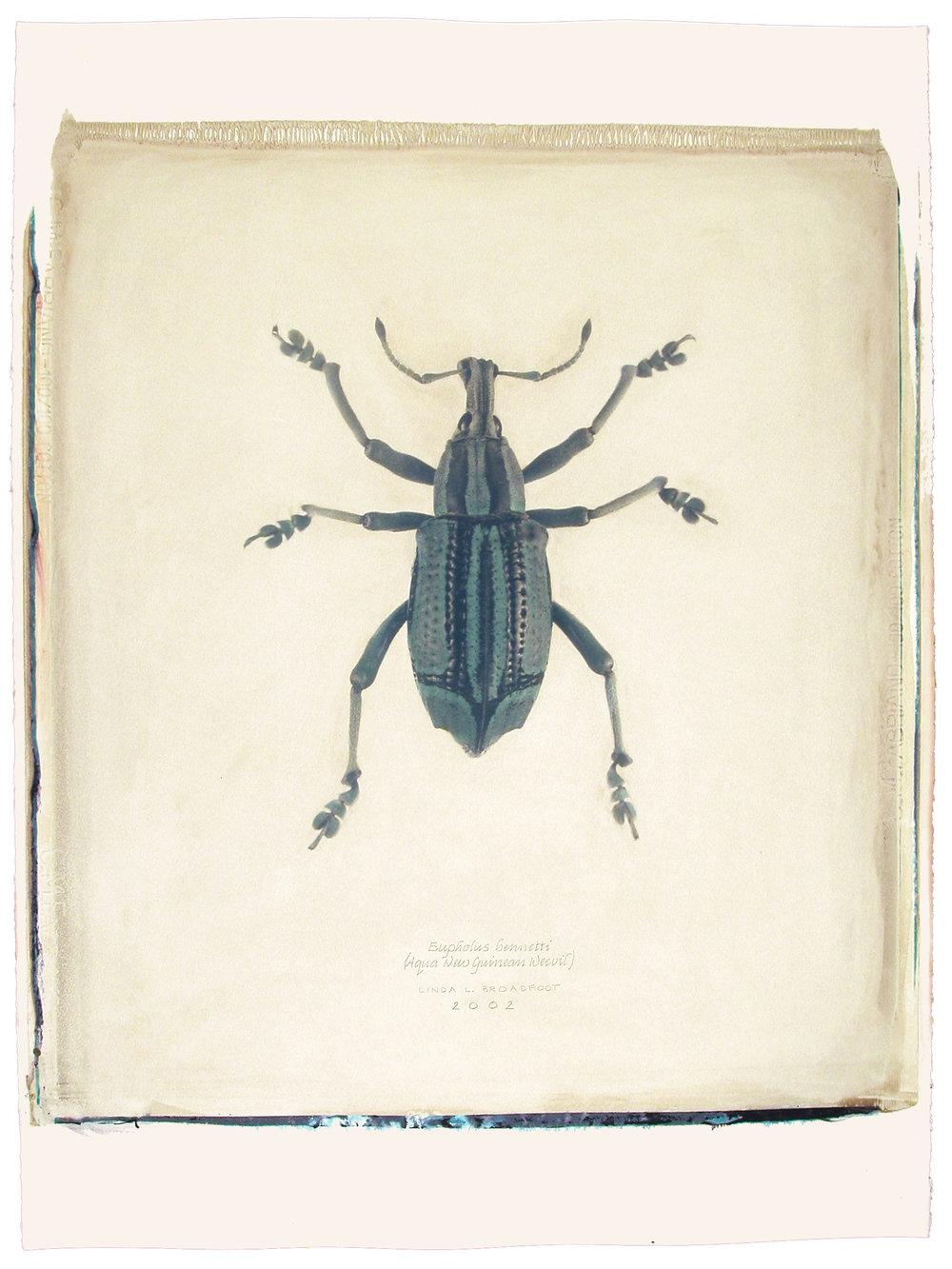 Eupholus bennetti  (Aqua New Guinean Weevil), 2002